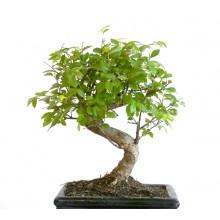 Odla ett Bonsaiträd
