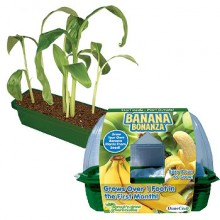 Odla dina egna bananer